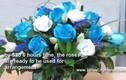 """Tự làm hoa hồng xanh - món quà """"độc"""" ngày 8/3"""