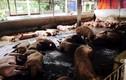 Hãi hùng cảnh chăn nuôi heo siêu nạc bằng chất cấm