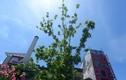 Phong lá đỏ bỗng trổ lá xanh tươi giữa cái nóng gần 40 độ C ở Hà Nội