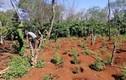"""""""Nông trại"""" 1.500 cây cần sa ở Đắk Lắk: Xử """"ông trùm"""" 3 năm tù?"""