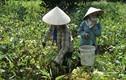 Báo động: Thương lái ồ ạt mua hồng hoa non bán sang Trung Quốc