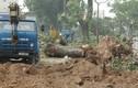 Chùm ảnh cây xà cừ cổ thụ 40 năm trên đường Láng bị đốn hạ