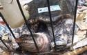 Thả ba ba khủng ở Hải Phòng vì cùng họ với rùa Hồ Gươm