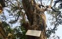Lộ đại gia chi 24,5 tỷ mua cây sưa 200 tuổi ở Bắc Ninh