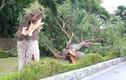 Bão số 2 Mun suy yếu: Hàng loạt cây xanh vẫn bị quật đổ