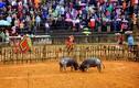 Ngừng tổ chức Lễ hội Chọi trâu Phù Ninh 2020, phòng chống dịch bệnh Corona