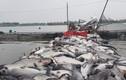 Hải Dương: Hơn trăm tấn cá lồng chết bất thường nổi trắng sông Thái Bình