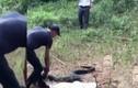 """Video: Thót tim """"ngó"""" cảnh thả rắn hổ mang chúa 21kg vào rừng ở Đồng Nai"""