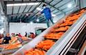 Đường xuất khẩu rộng mở, nông sản Hải Dương nhộp nhịp trở lại