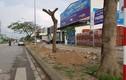 Thay thế hơn 700 cây xanh: Thành phố Hải Dương làm thiếu quy trình?