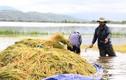 Người dân Đăk Lăk cuống cuồng gặt lúa non chạy lũ