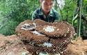 Nuôi loài ong kịch độc, thương lái Trung Quốc lùng mua