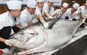 Lộ giá đắt giật mình của cá ngừ vây xanh