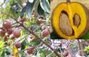 Tận mục giống táo Mỹ kỳ dị cực hút khách