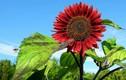 Săn lùng hạt giống hoa hướng dương đỏ rực