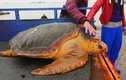 Cận cảnh rùa vàng quý giá 34 triệu đồng mắc lưới
