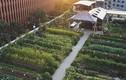 Tận mục những nhà hàng tự trồng vườn rau trên tầng thượng