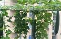 Vườn rau trái lúc lỉu trên sân thượng của giảng viên đại học