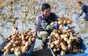 Xem nông dân Trung Quốc thu hoạch củ sen mùa bội thu