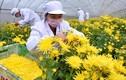 Xem dân Trung Quốc thu hoạch hoa cúc làm thảo dược