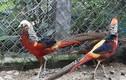 Mãn nhãn gà lạ, chim cảnh quý tộc phục vụ đại gia chơi Tết