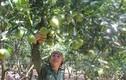 Tận mục những vườn cam lãi tiền tỷ của nông dân Việt
