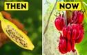 Bất ngờ hình ảnh xưa và nay của các loại hoa quả quen thuộc