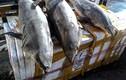 Những loại cá cực ngon nhưng kịch độc, ai đi biển tuyệt đối không ăn