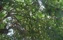 Nghệ An: Đổ xô kéo đến thắp hương 'cụ' khế trăm tuổi để lấy may