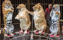 Video: Số phận của hổ trong các gánh xiếc