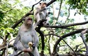Chuyện lạ về đàn khỉ nương náu ngôi chùa ở Vũng Tàu