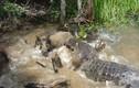 Lợn rừng tham ăn chết thảm dưới hàm sát thủ đầm lầy