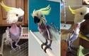 Quái đản vẹt bị trầm cảm tự nhổ lông gây chú ý