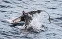 Sư tử biển xé xác, ngấu nghiến cá mập trên biển