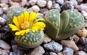 Kỳ lạ loài hoa có hình như viên sỏi