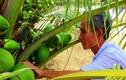"""Ảnh: """"Quá đã"""" vườn dừa xiêm lùn siêu ngọt trĩu quả nằm sát biển"""