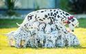 Chó đốm sinh 18 chó con một lúc lập kỷ lục thế giới