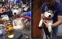 Chó cưng uống trộm bia của chủ và kết siêu hài hước