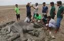 Đau lòng khôn xiết cảnh voi hấp hối vì bị cắt trộm ngà