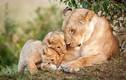 Ảnh đẹp: Tình mẫu tử ấm áp trong thế giới động vật hoang dã