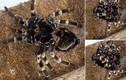 Kinh dị cảnh nhện lông lá khổng lồ rũ bỏ xác khô