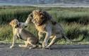 """Sư tử cái dùng bạo lực để """"trị"""" chồng đòi """"yêu"""""""