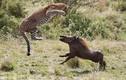 Báo hoa mai mang thai và lợn rừng quyết chiến dữ dội