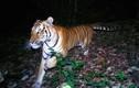 Hổ vằn lặn lội hàng trăm km để tìm bạn tình
