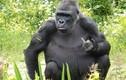 Bị làm phiền, khỉ đột giơ ngón tay làm điều không ngờ