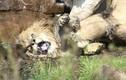 Kinh hoàng 9 sư tử cái tấn công, đòi lật đổ vua sư tử