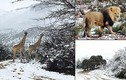 Kinh ngạc cảnh hươu cao cổ, voi... dạo bước trên tuyết ở châu Phi
