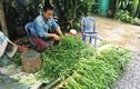 Mùa nước nổi An Giang: Thả rau ngổ ở sông, ngày nào cũng có tiền tiêu