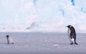 """Hài hước chim cánh cụt """"FA"""", còn phải làm giáo viên bất đắc dĩ"""