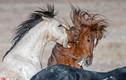 Ngựa đực điên cuồng chiến đấu giành quyền ân ái